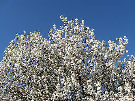 Spring Bradford Pear Tree by Juliana  Blessington