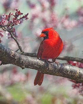 Spring Cardinal 2 by Lara Ellis