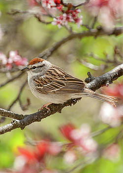 Spring Chipping Sparrow by Lara Ellis
