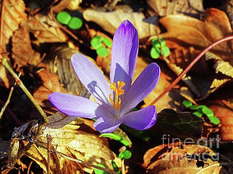 Spring Crocus by Jasna Dragun