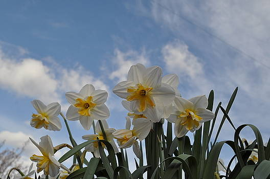 Spring Daffodils by Colin Benson