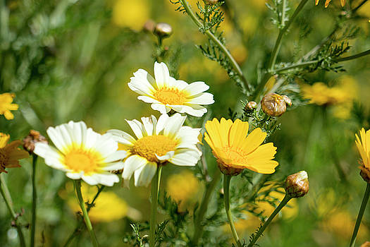 Spring Daisies by Michael Hope