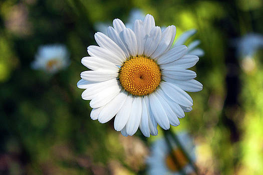 Spring Daisy by Jeff Severson
