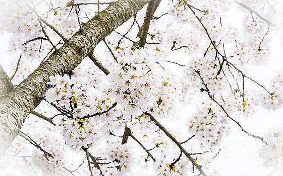 Spring Dogwood Blossoms by MaryJane Armstrong