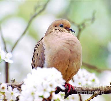 Spring Dove by Kerri Farley