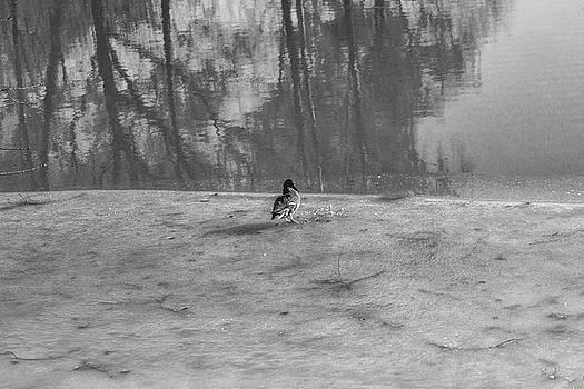 Leif Sohlman - spring duck BW #e8