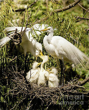 Spring Egret Chicks by Robert Frederick