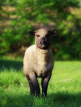 Spring Ewe by Stephanie Calhoun