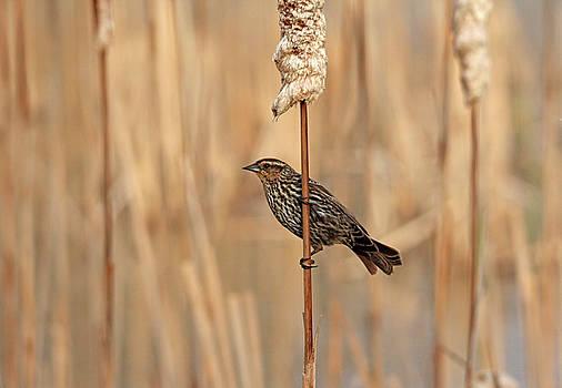 Debbie Oppermann - Spring Female Red Winged Blackbird