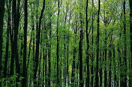 Kathi Shotwell - Spring Forest