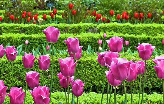 Frank Tschakert - Spring Garden - Pink Tulips
