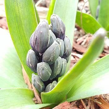 Spring Hyacinth By Tammy Finnegan by Tammy Finnegan