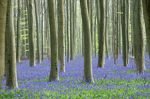 Spring in the Hallerbos by Brandy Herren