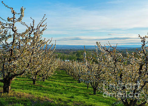 Spring in the Orchard by Mike Dawson