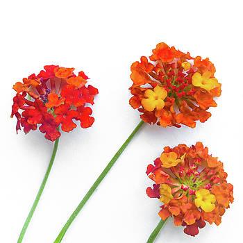 Ellie Teramoto - Spring is here - Red and Orange Lantana Flowers - Square