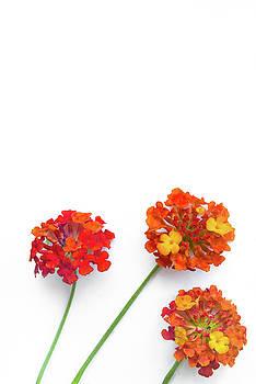 Ellie Teramoto - Spring is here - Red and Orange Lantana Flowers - Vertical