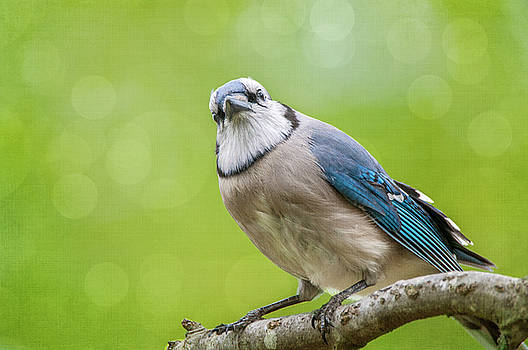Spring Jay by Cathy Kovarik