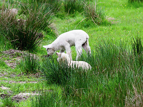 Spring Lambs Eating In The Tall Grass by Scott Lyons
