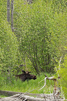 Spring Moose in Yellowstone by Natural Focal Point Photography
