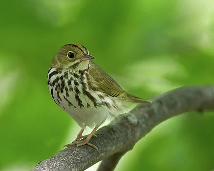 Spring Ovenbird  by Timothy McIntyre