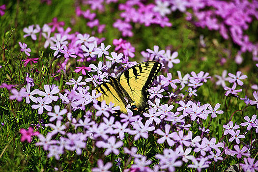 Jill Lang - Spring Phlox with Butterfly
