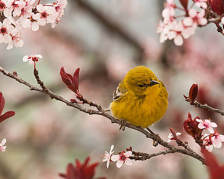 Lara Ellis - Spring Pine Warbler 2