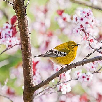 Lara Ellis - Spring Pine Warbler 2016
