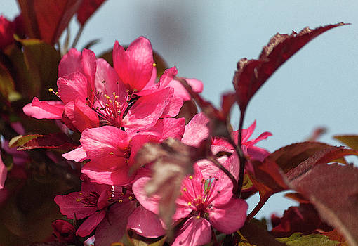 Spring Pink in Waterdolor by Suzanne Gaff