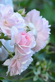 Spring Pink Roses by Nicki Bennett