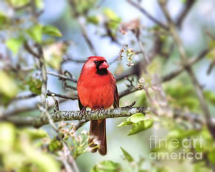 Spring Red - Male Cardinal by Kerri Farley