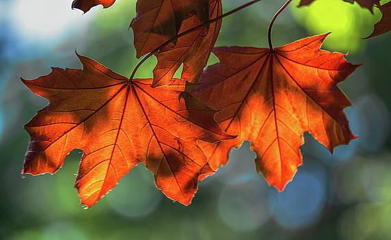 Dale Kauzlaric - Spring Red Maple Leaves