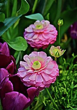 Spring Show 18 Pink Ranunculus 1 by Janis Nussbaum Senungetuk