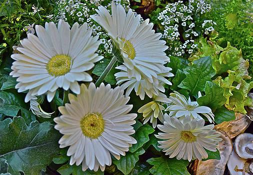 Spring Show 18 White Gerbera Daisies by Janis Nussbaum Senungetuk