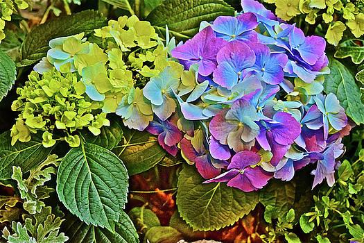 Spring Show Bigleaf Hydrangea by Janis Nussbaum Senungetuk