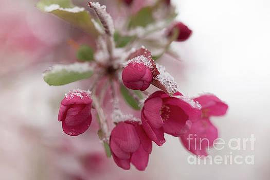 Spring Snow by Ana V Ramirez