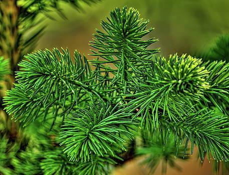 Dale Kauzlaric - Spring Spruce Cluster