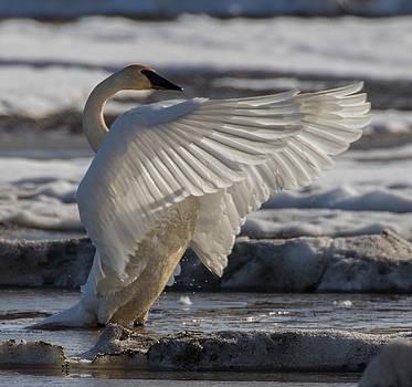 Dee Carpenter - Spring Swan