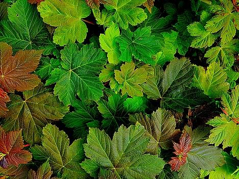 Colin Drysdale - Spring Sycamore Leaves