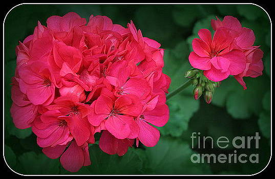 Spring Time Geranium by Dora Sofia Caputo Photographic Art and Design