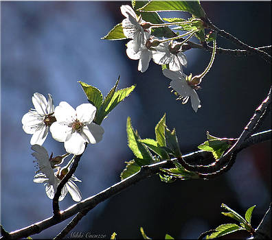 Spring tree blossoms 3 by Mikki Cucuzzo