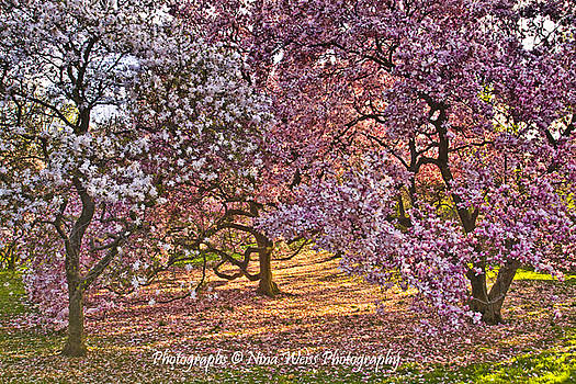 Spring Trees by Nina Weiss