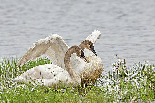 Spring Trumpeter Swan  by Natural Focal Point Photography