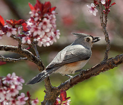 Spring Tufted Titmouse 2018 2 by Lara Ellis