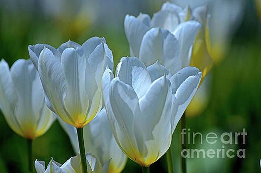 Spring Tulips by Deb Halloran