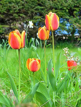 Spring Tulips by Geoff Smith