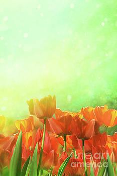 Sandra Cunningham - Spring tulips in field