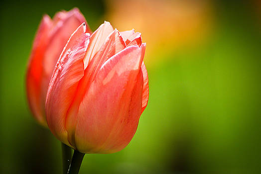 Spring Tulips by Kimberly Deverell