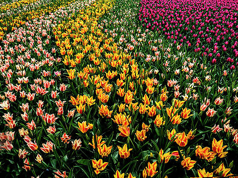 Spring Tulips by Paul Wear