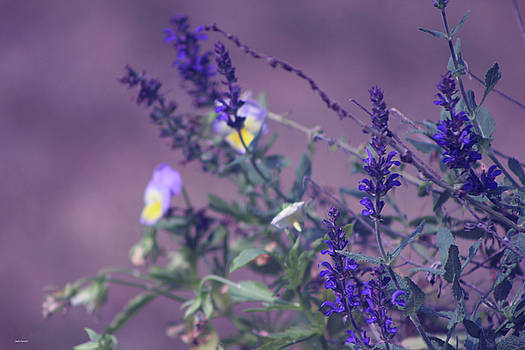 Spring Violet by Linda Sannuti