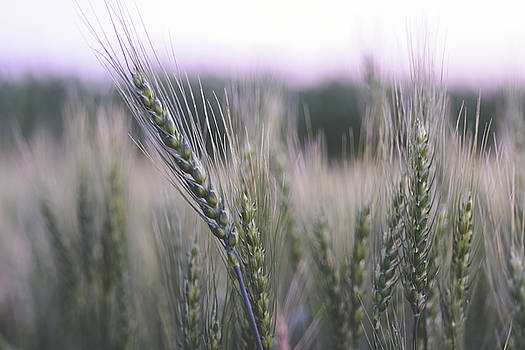 Spring Wheat by Betsy Armour